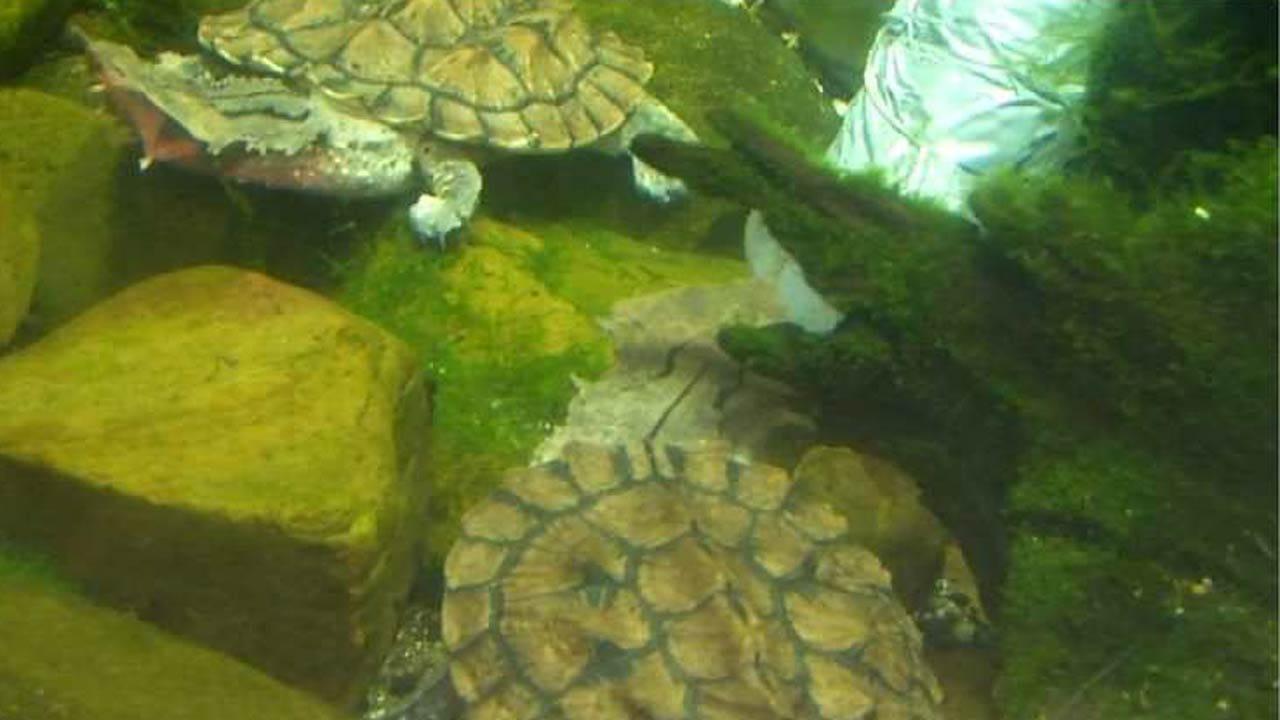 Wild Wednesday: The Mata Mata Turtle At The Tulsa Zoo