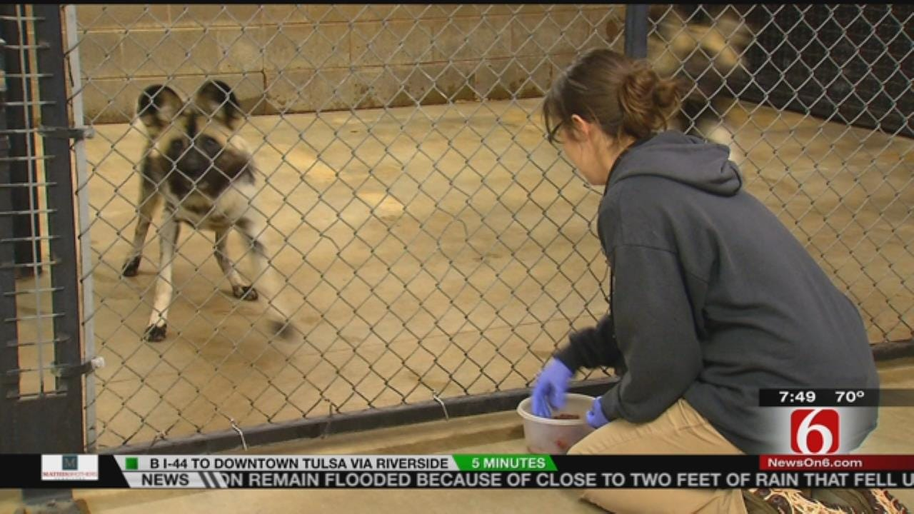 Wild Wednesday: Behind The Scenes At Tulsa Zoo's African Painted Dogs Exhibit