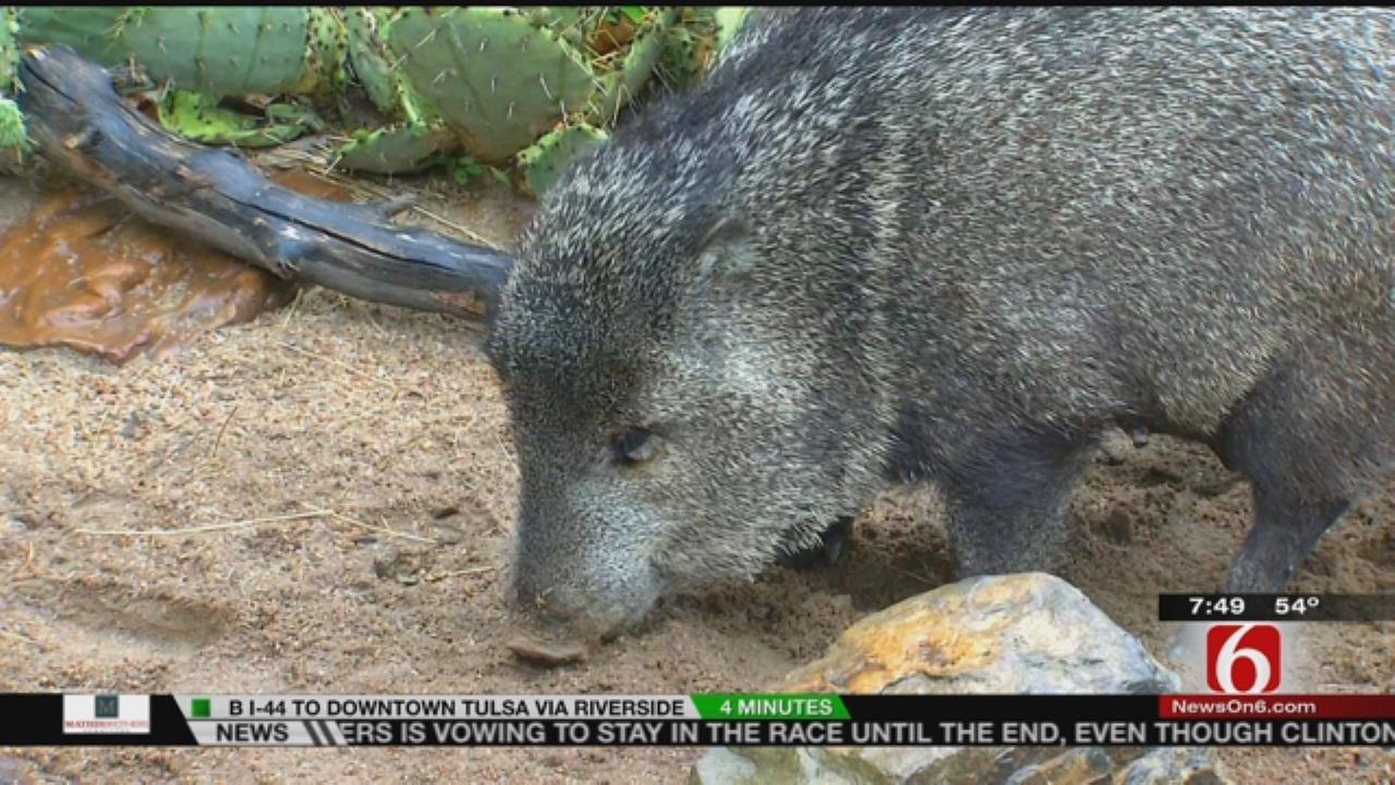 Wild Wednesday: Meet The Peccary Pigs