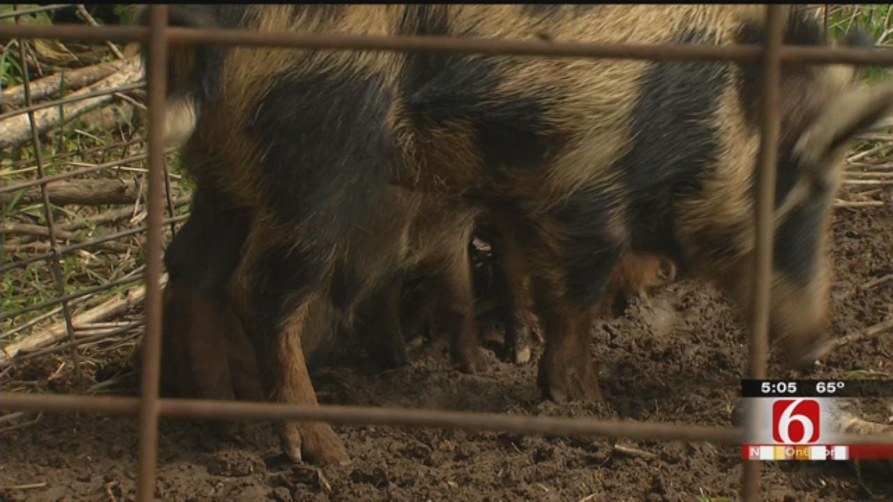 OK Wildlife Commissioner: Feral Hog Bill 'Wildlife Law Enforcement Nightmare'