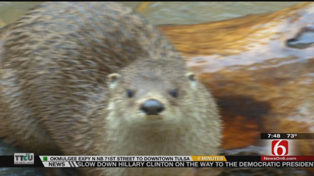 Wild Wednesday: River Otter Exhibit At The Tulsa Zoo