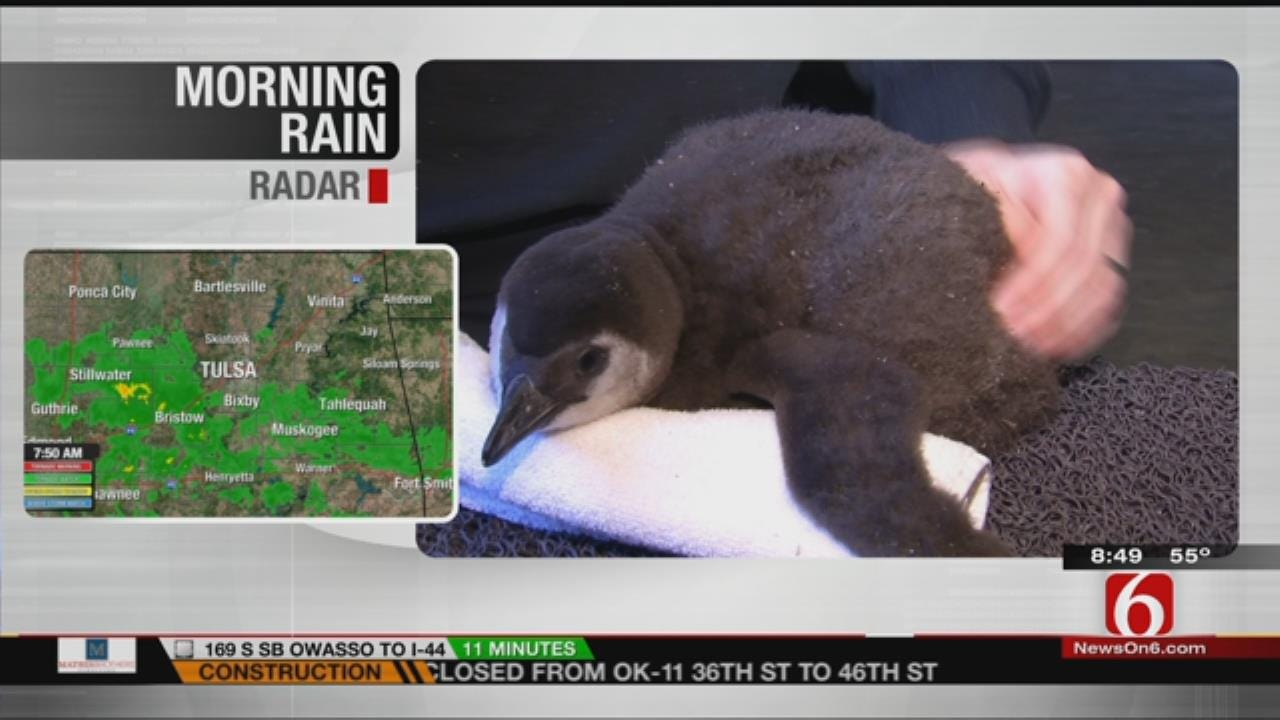 Wild Wednesday: See Baby Penguin Chick At The Tulsa Zoo