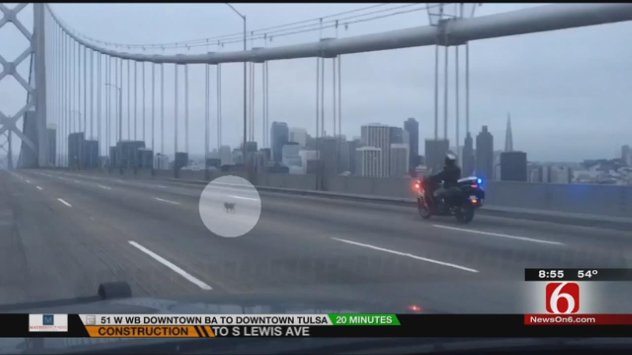 WATCH NOW: California Highway Patrol Chases Chihuahua