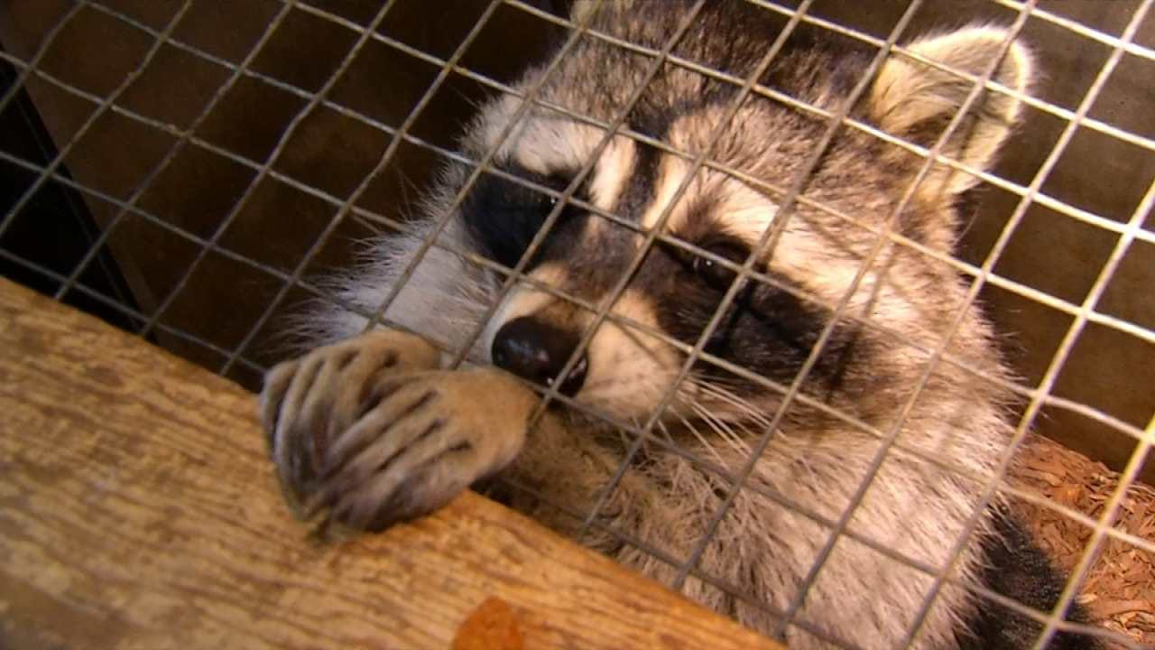 Wild Wednesday Visits The Raccoon Exhibit At The Tulsa Zoo