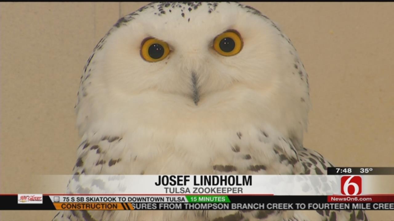 Wild Wednesday: Snowy Owls At The Tulsa Zoo