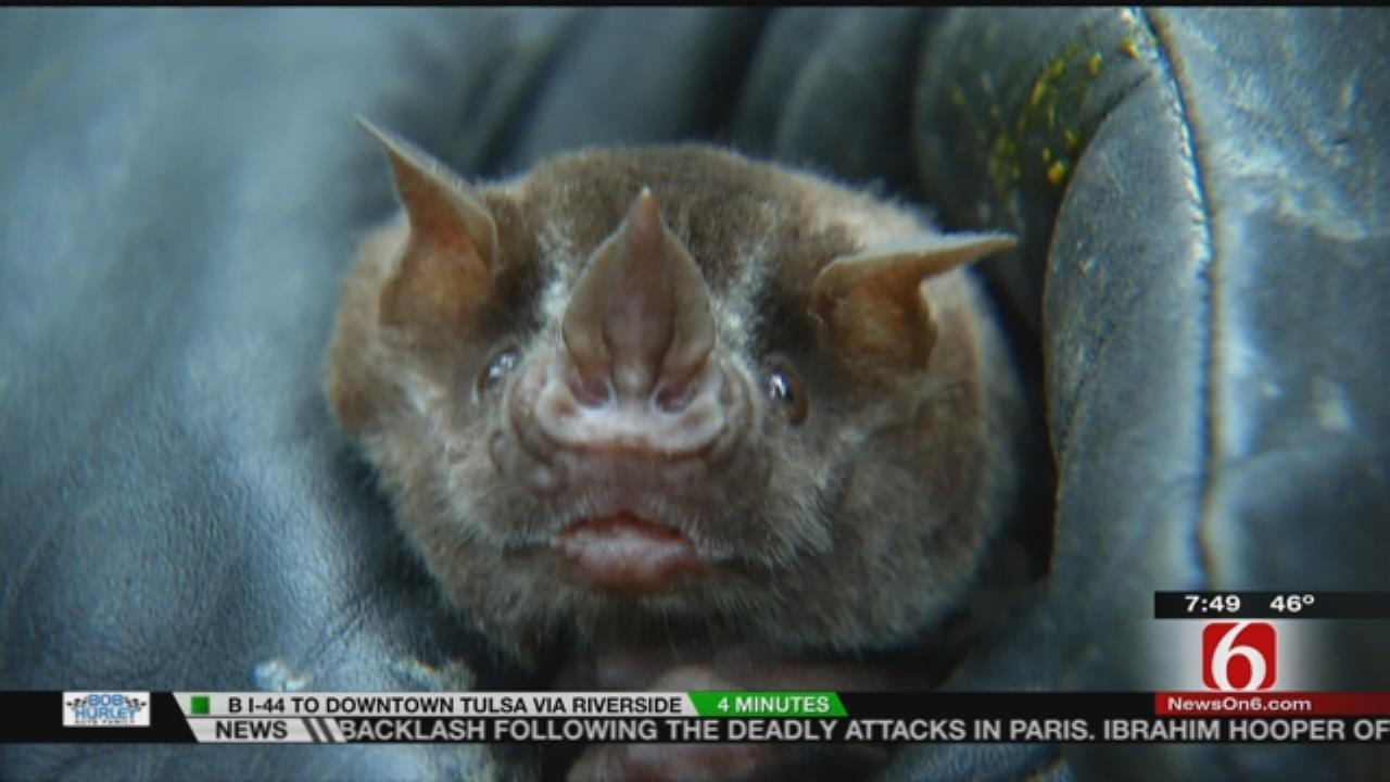 Wild Wednesday: Miss Piggy, The Fruit Bat At The Tulsa Zoo