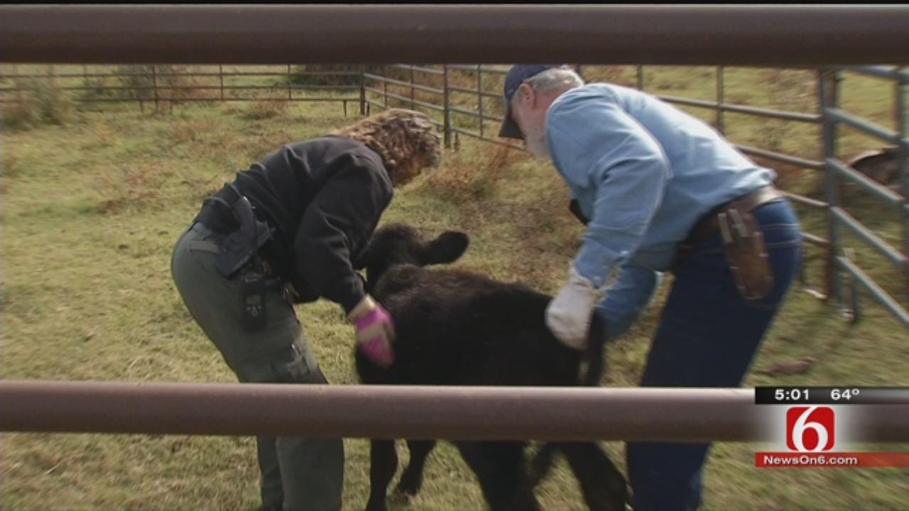 Dozens Of Cattle Found Dead In Muskogee, More Dying, 100 Missing