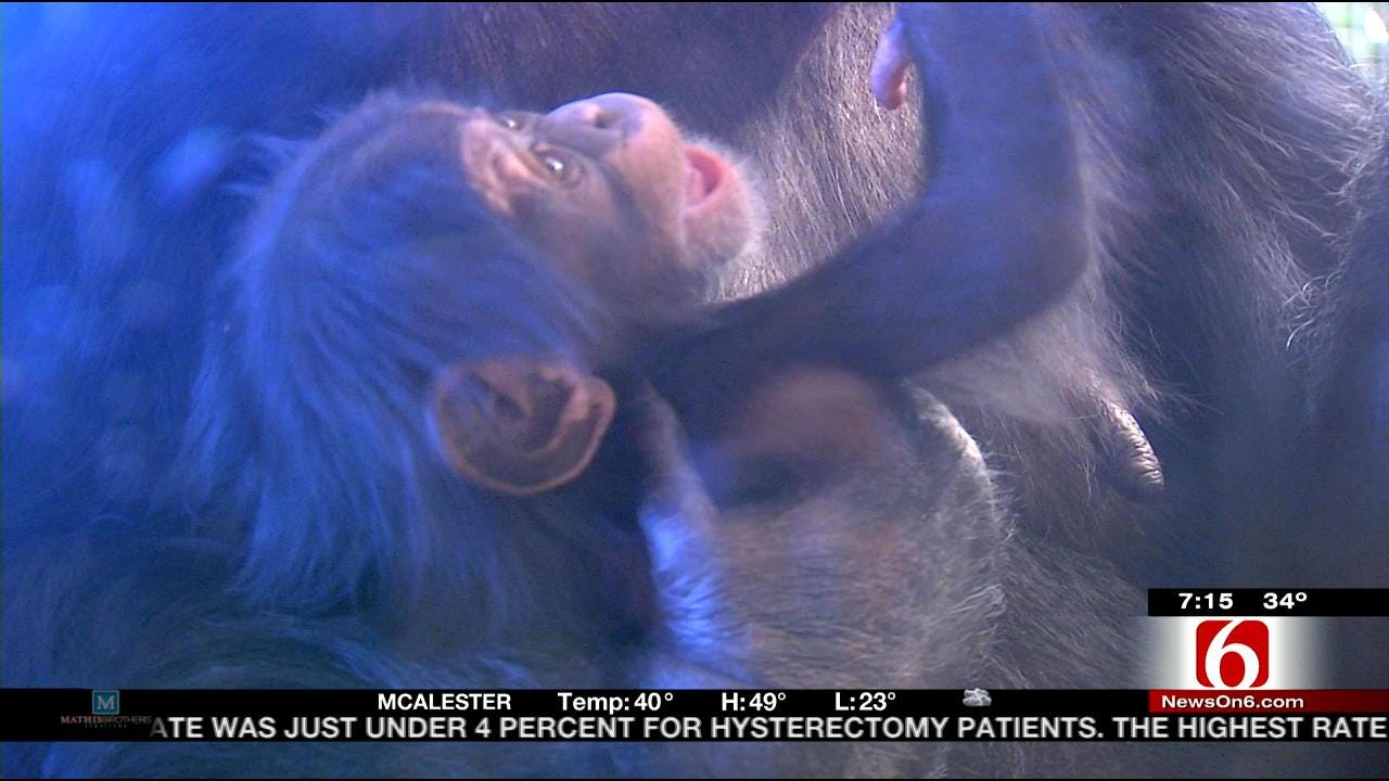 Wild Wednesday: Close Up With Tulsa Zoo's Newest Chimpanzee
