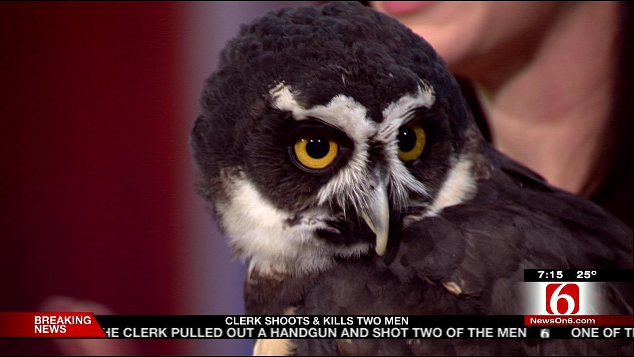 Wild Wednesday: Spectacled Owl