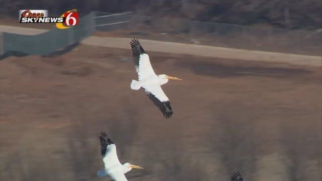 Osage SkyNews 6 HD Spots Flock Of Pelicans Flying Over The Arkansas River In South Tulsa