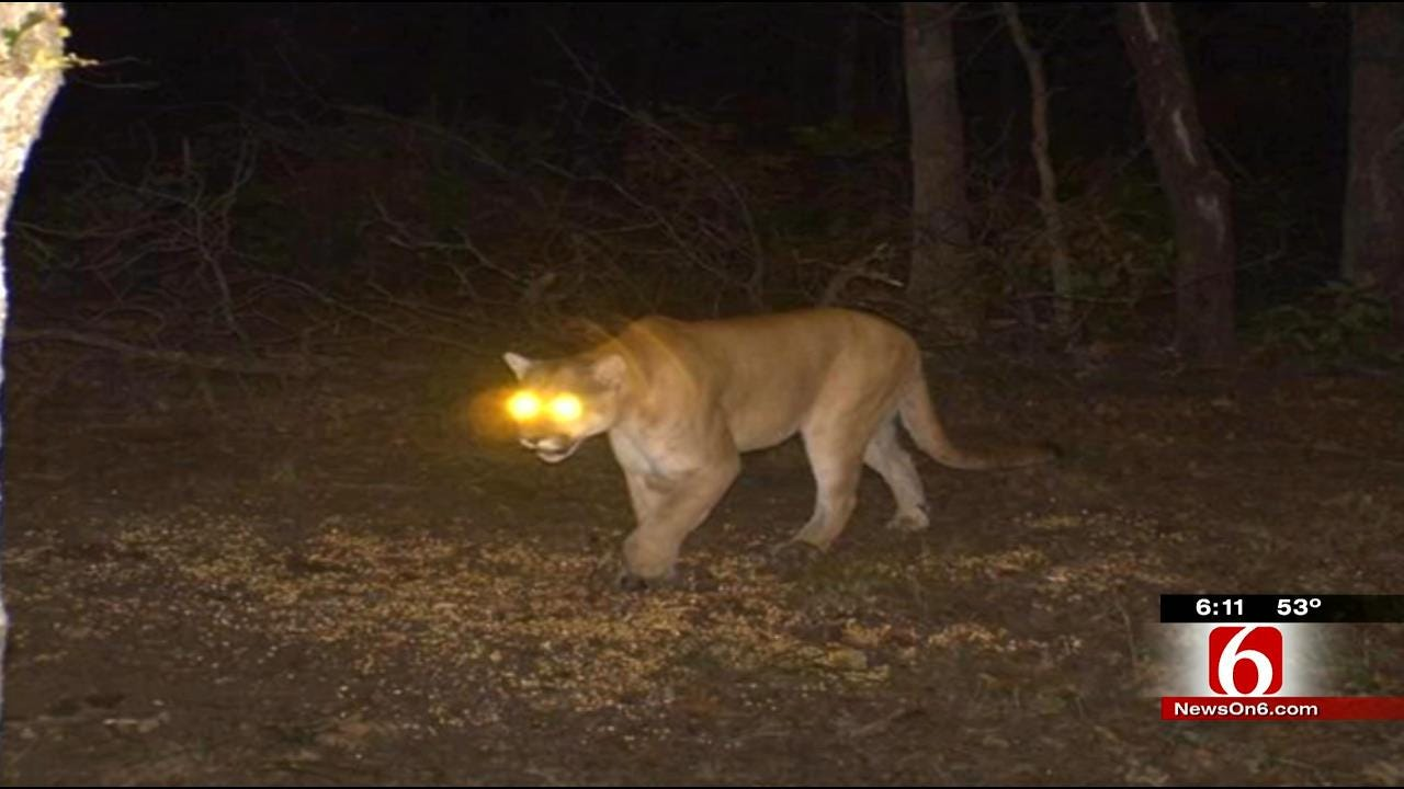 Elusive Mountain Lion Spotted On Pawnee County Land