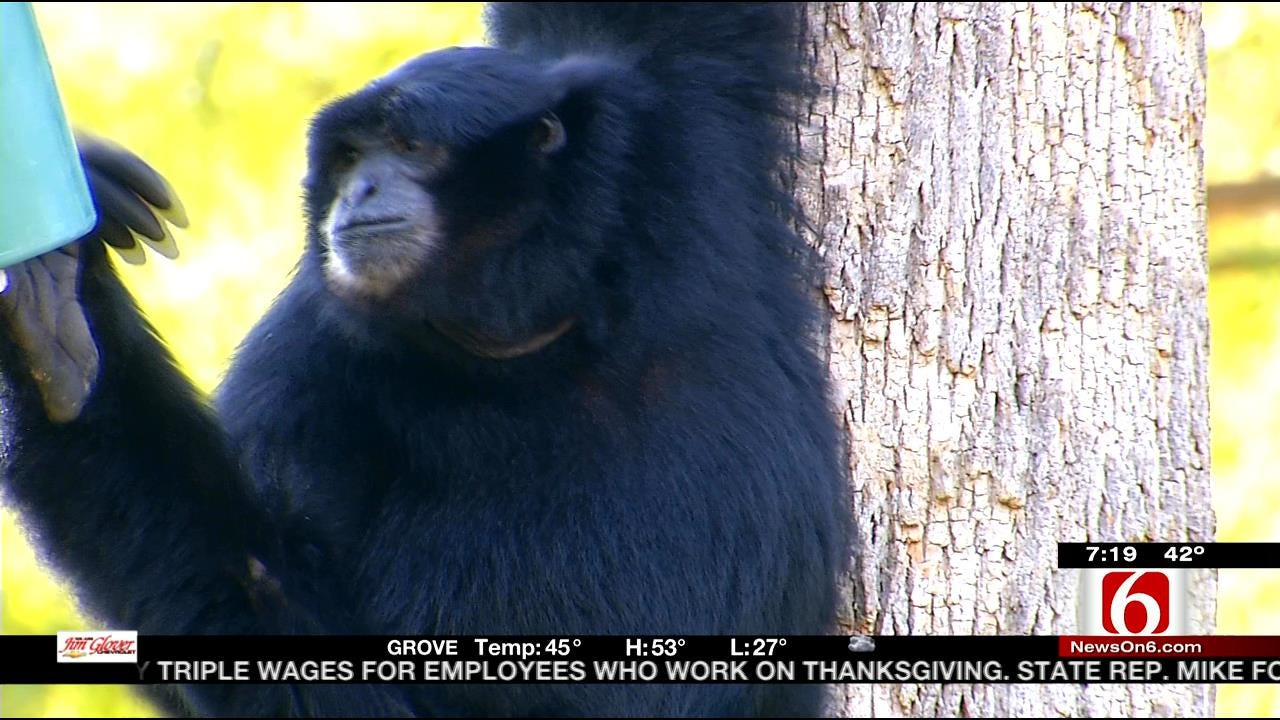 Wild Wednesday: Tulsa Zoo's Siamang Apes