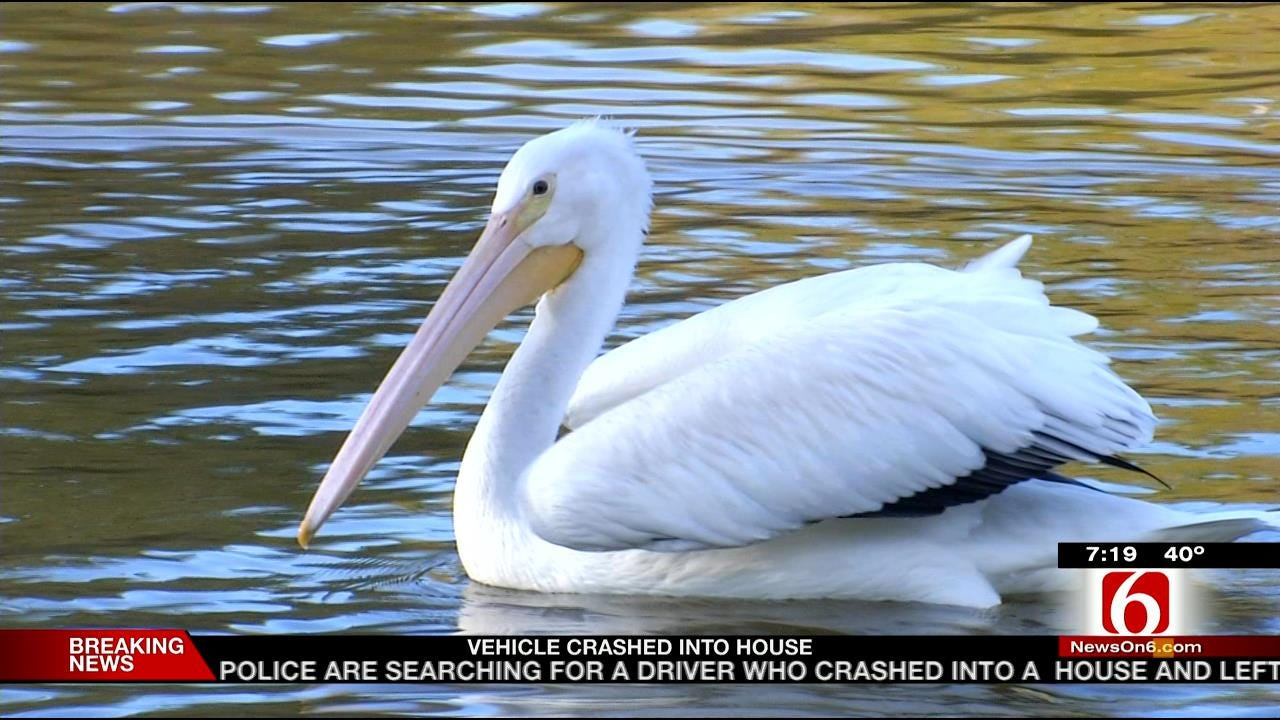 Wild Wednesday: Pelicans At The Tulsa Zoo