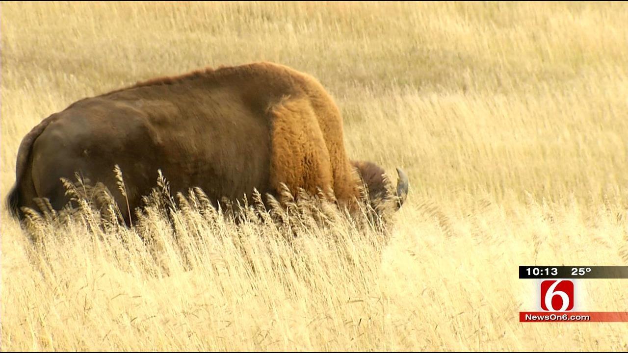 Growing Numbers Bring American Bison Back To Cherokee Land