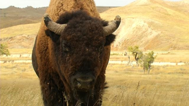 American Bison Embark On Special Trip To Oklahoma