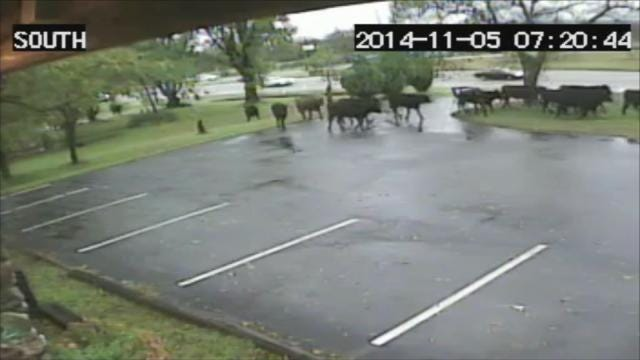 WEB EXTRA: Security Video From Windle's Rock & Jewelry In Bartlesville Of Cattle Running Away From Crash