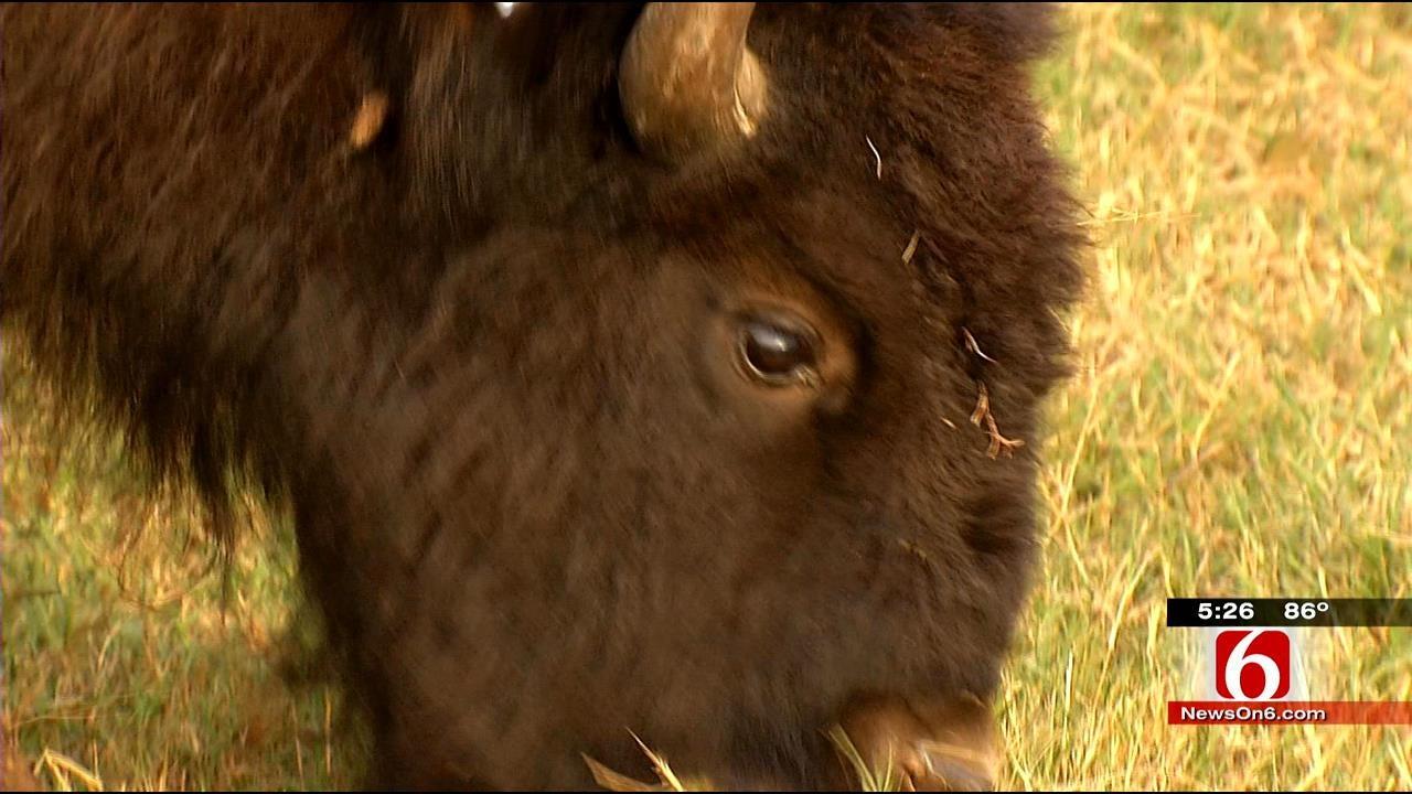 Herd Of Cherokee Nation Bison Arrives In Delaware County