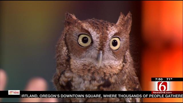 Wild Wednesday: Screech Owl