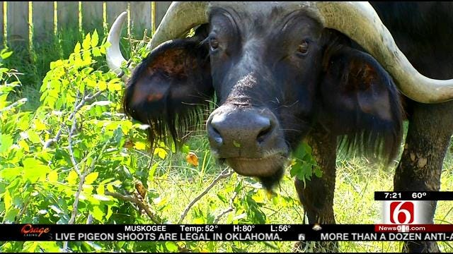 Wild Wednesday: Cape Buffalo At The Tulsa Zoo