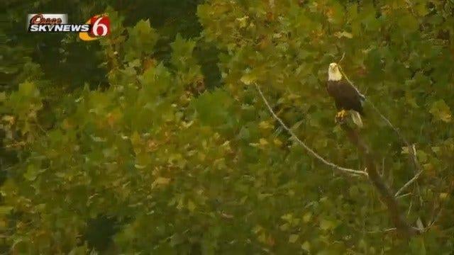 Bald Eagle Stares Down Osage SkyNews 6 HD