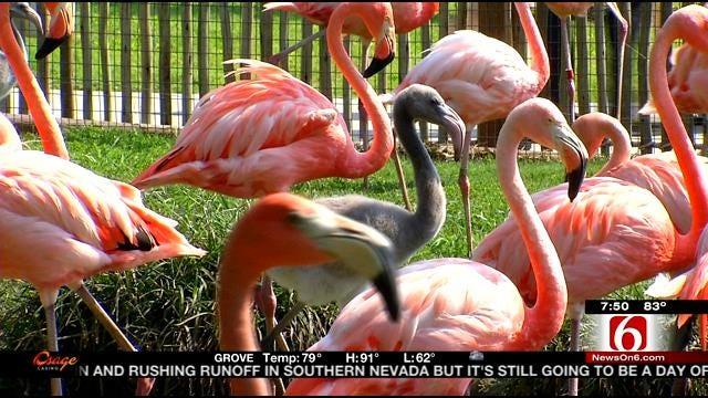 Wild Wednesday: Flamingos At The Tulsa Zoo.