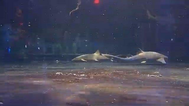 Shark Week Makes Its Way To The Oklahoma Aquarium