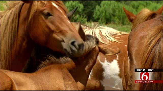 Volunteer Dedicates Life To Preserving Oklahoma's Heritage Horse