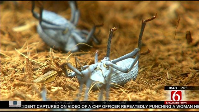 Wild Wednesday: Death Feigning Beetles At Tulsa Zoo