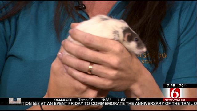 Wild Wednesday: Domestic Rat At The Tulsa Zoo