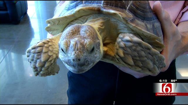Oklahoman Shows Off African Sulcata Tortoise