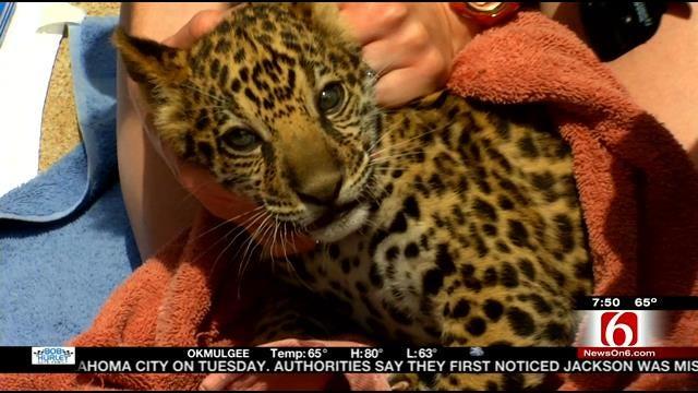 Wild Wednesday: Behind The Scene Visit With Tulsa Zoo's Baby Jaguar