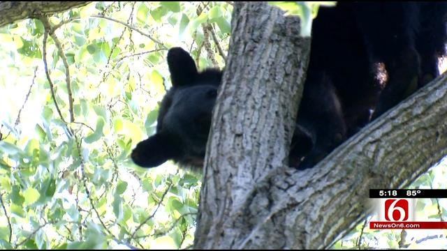 Two Trees In Two Days For Wagoner County Bear