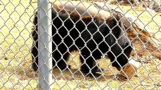 Wild Wednesday: Black Bear At Tulsa Zoo Goes Through Surgery