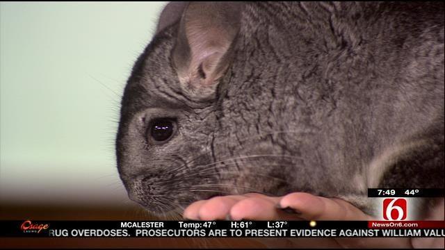Wild Wednesday: Chinchilla From The Tulsa Zoo