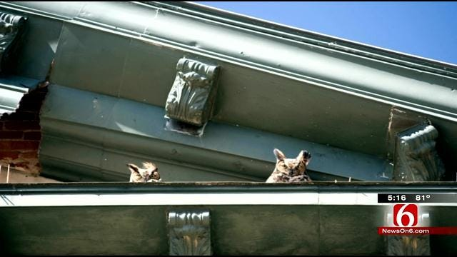 Great Horned Owls Make Osage County Courthouse New Home