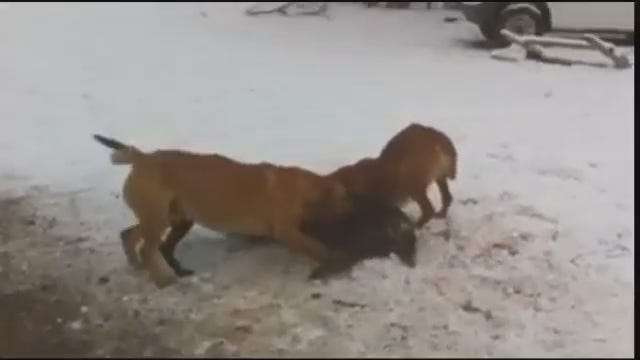 WEB EXTRA: WARNING Graphic Video Of Dog Attack