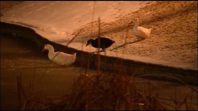 Skiatook Duck Trio Visit Frozen City Pond