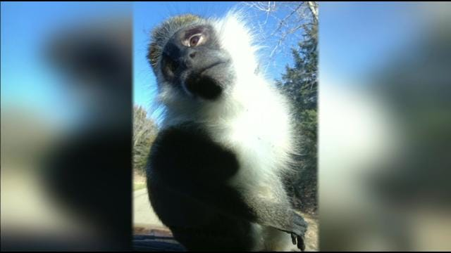 Escaped Pet Monkey Captured After Week On The Loose In Pawnee County