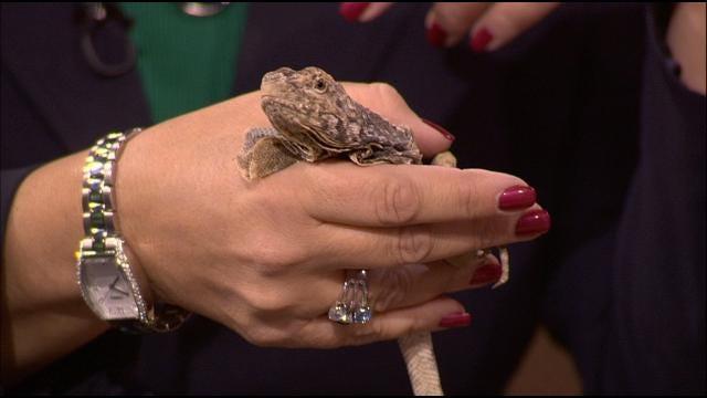 Wild Wednesday: Frilled Lizard