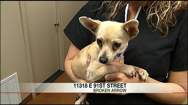 Chihuahua Hit By Car, Left For Dead Now In Recovery And Looking For Good Home