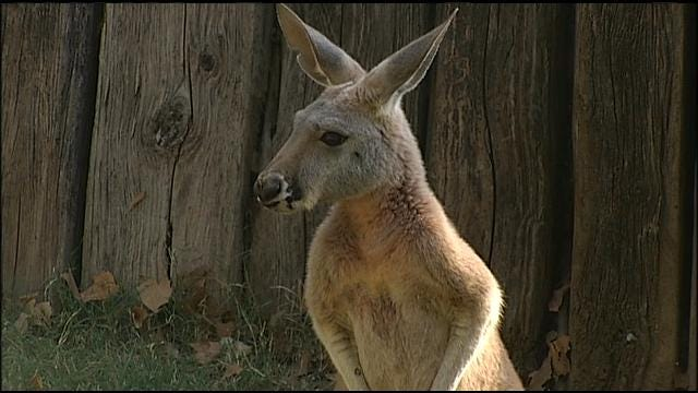 Wild Wednesday: Tulsa Zoo Introduces Red Kangaroo