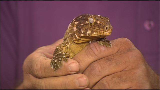 Wild Wednesday: Giant Gecko
