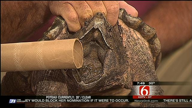 Wild Wednesday: Alligator Snapping Turtle