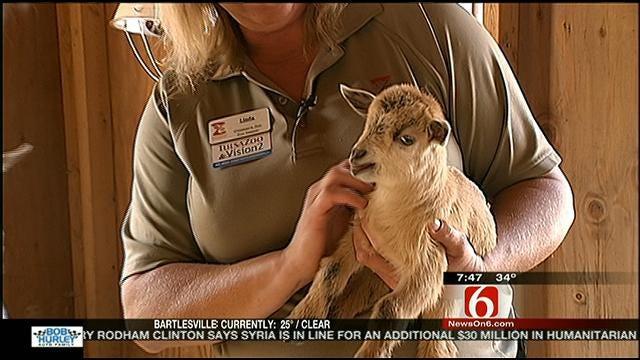 Wild Wednesday: Nigeria Dwarf Goats