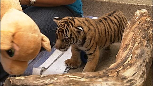 Wild Wednesday: Tiger Cub Berani