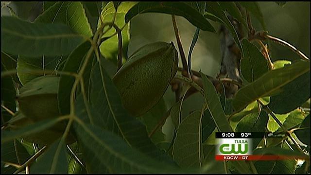 Drought Drying Hopes Of Plentiful Pecan Season in Oklahoma
