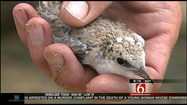 Endangered Birds Nesting In Tulsa Are Being Disturbed, Experts Say