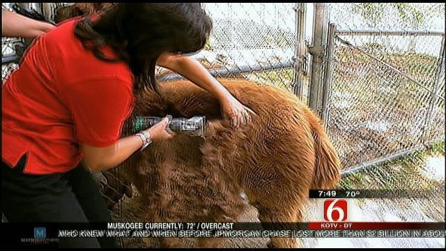 Wild Wednesday: Shaving An Alpaca