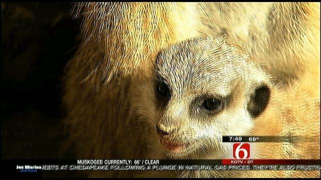 Wild Wednesday: Baby Meerkat