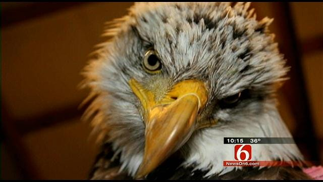 Bald Eagle Poisoned By Lead Gets Second Chance At Foyil Ranch